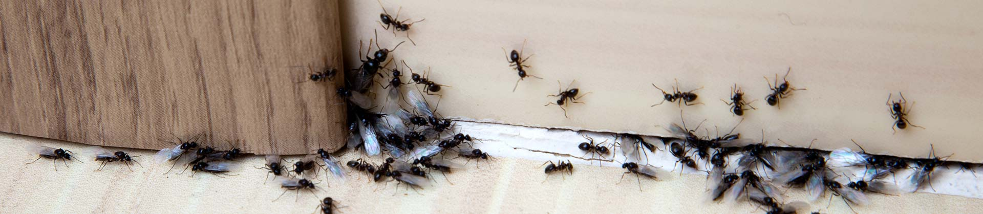 Ant Pest Control For Newcastle, Lake Macquarie, Maitland, Cessnock, Singleton And Port Stephens