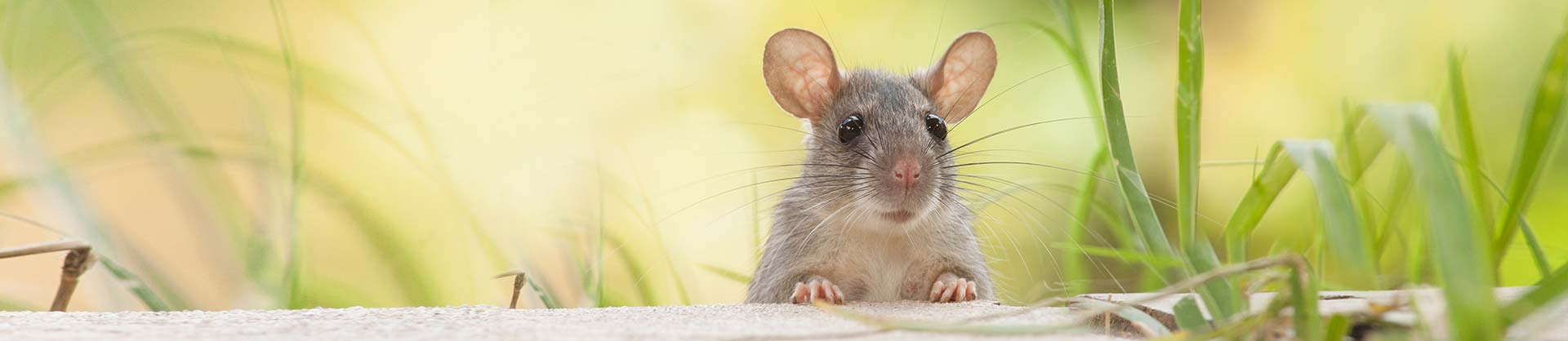 Rodent And Rat Pest Control Newcastle
