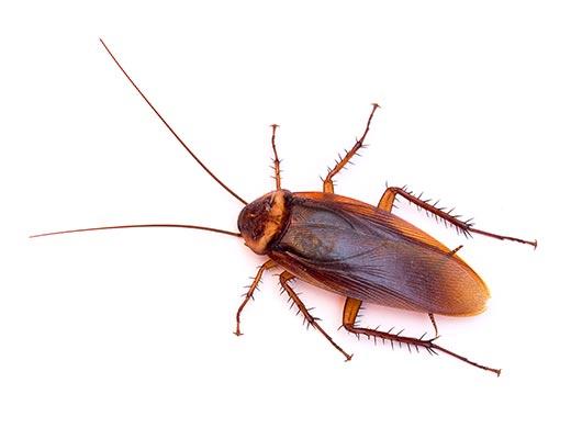 American Cockroach Pest Control