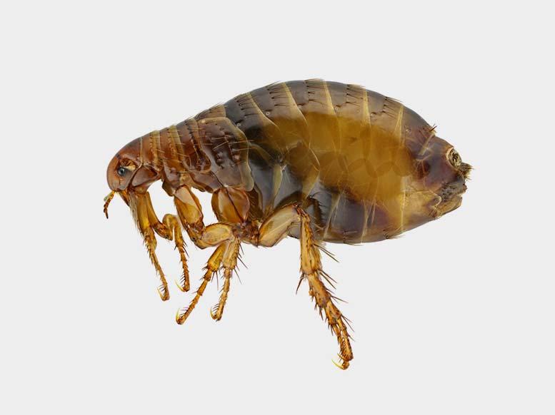 Newcastle Flea Pest Control