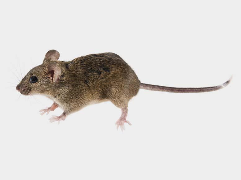Mice Pest Control Newcastle